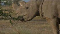 """""""سودان"""" وحيد القرن الأبيض فارق عالمنا"""