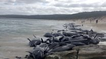 Whales in mass stranding