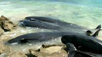 Mengapa paus bisa terdampar massal?