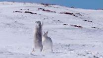 Lebres da montanha fêmeas lutam 'boxe' para afastar investidas de machos