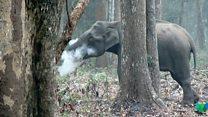 """El elefante que echa humo por la boca y tiene """"perplejos"""" a los científicos"""