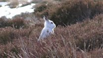New footage shows large-scale hare-culling
