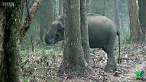 Слониха курить - вчені в шоці