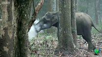 Gajah 'merokok' buat ilmuwan bingung