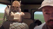 Curious cheetah joins safari group