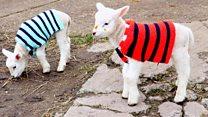 Woolly jumpers keep lambs warm