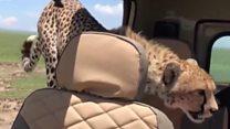 Гепард заліз у машину під час сафарі
