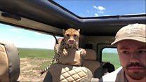 El aterrador momento en que un guepardo se mete dentro de un jeep con turistas en un safari