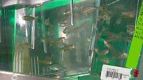 هل تصبح أسماك الزيبرا بديلاً لفئران التجارب؟