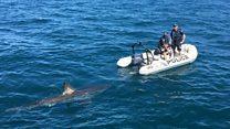 Shark follows Australian police boat