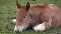 Endangered horse breed births celebrated
