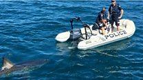 Большая белая акула гоняется за полицейскими