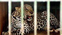 India's 'sugarcane leopards'