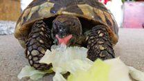 Runaway tortoise found after nine months