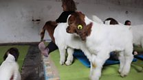 Goat Pilates launched at dairy farm