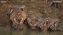 အပူရှောင်တဲ့ကျားတွေ