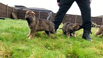 Blue collar aim for police puppies