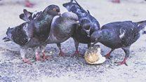 Town bans pigeons
