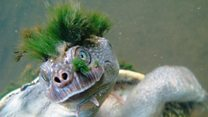 'Punk turtle' put on endangered list