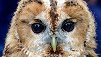ما معنى كلمة Owl؟