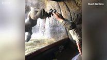 ကင်းမြီးကောက်ထောင်တဲ့ မျောက်ဝံကြီး