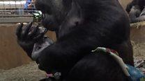 Первые минуты жизни детеныша гориллы по имени Моки