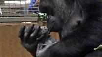 El tierno momento en que una mamá gorila besa a su recién nacido bebé
