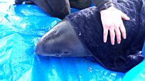 Porpoise plucked from shallow waters