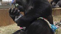 Mãe gorila emociona funcionários de zoo ao beijar filhote recém-nascido
