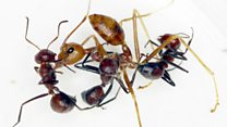 "Meet the ""exploding ants"""