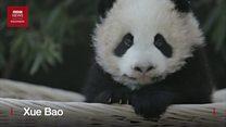 Dua bayi panda imut di Shanghai dapat nama resmi