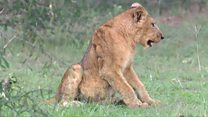 Why are lions being poisoned in Uganda?