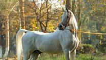 وفاة الحصان المصري تجويد تثير استياء مربي الخيول