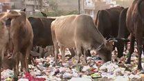 अबब! गायीच्या पोटात दडलंय 60 किलो प्लॅस्टिक