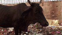 Ada 60 kg sampah plastik dalam perut sapi di India