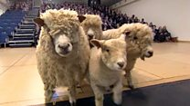 Sheep visit school as part of food campaign
