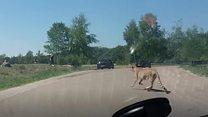 เสือชีตาห์ไล่ต้อนนักท่องเที่ยวลงจากรถที่สวนซาฟารีเนเธอร์แลนด์