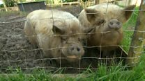Pigs' rescue home struggles with demand