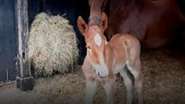 First steps for Suffolk Punch foal