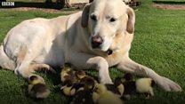 Labrador fosters nine ducklings