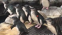 Fairy penguins come to Weymouth