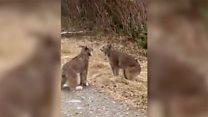 Почему кричат рыси? Отвечает эксперт