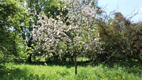 Rare apple trees returning to West Country orchards