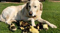 Cachorro adota filhotes de pato abandonados na Inglaterra