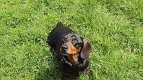 Sausage dog 'blown up like a balloon'
