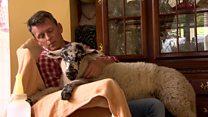 Meet Ba-ba-baby the house sheep