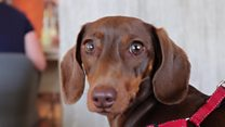 Sausage dog cafe attracts 200 dogs
