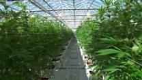 Како изгледа највећа фарма канабиса на свету