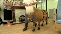 Therapy ponies visit a dementia hospital