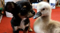 Puppy and cygnet become friends